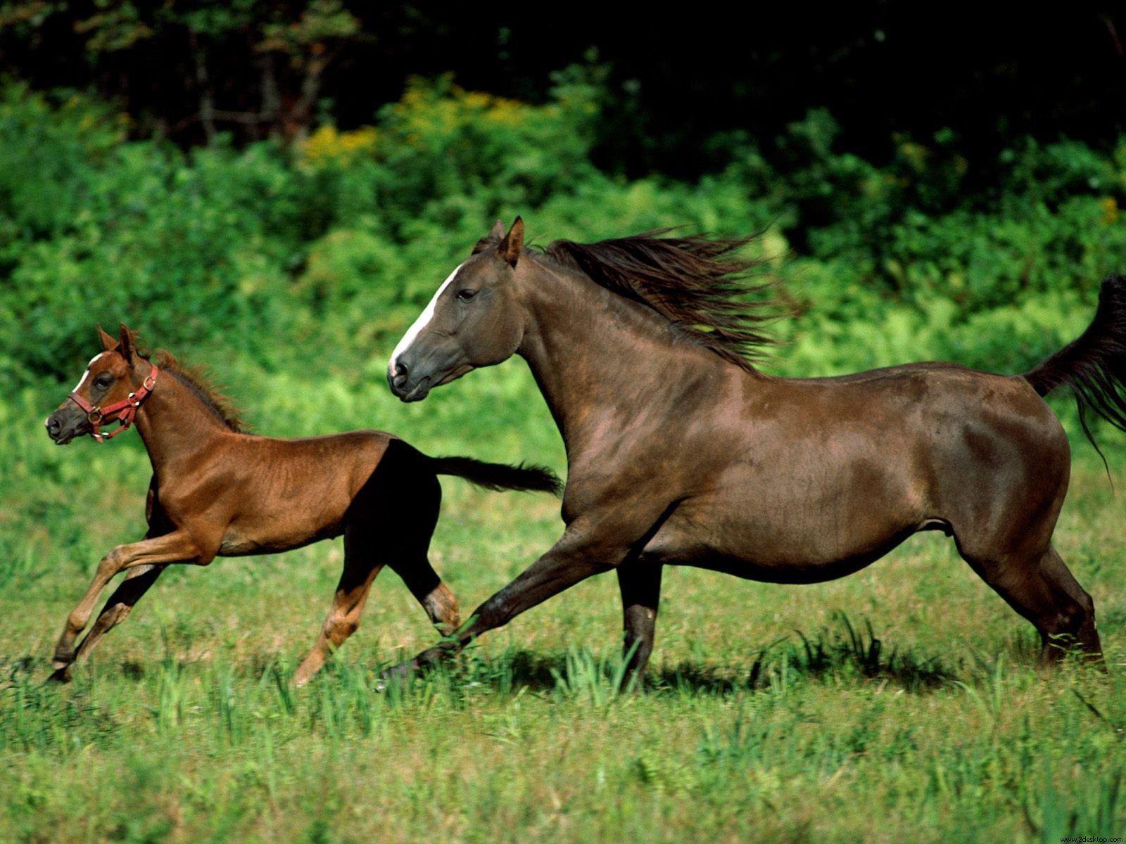 Deux chevaux au galop