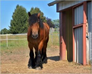 Photos cheval galerie photos de chevaux photos cheval - Dessin cheval de trait ...