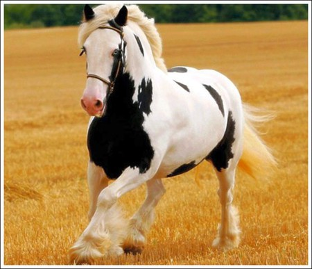 cheval de trait noir et blanc