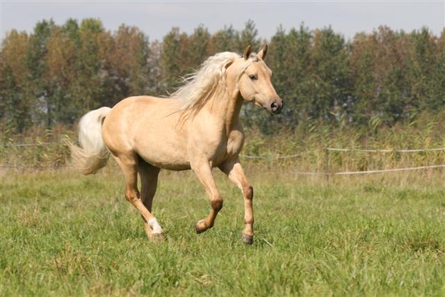 poney-quarter-americain