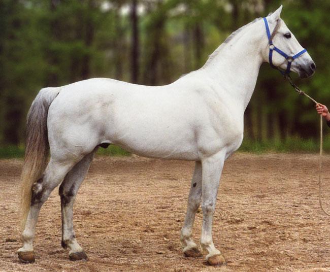 shagya-blanc