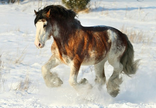 Clydesdale : cheval de trait