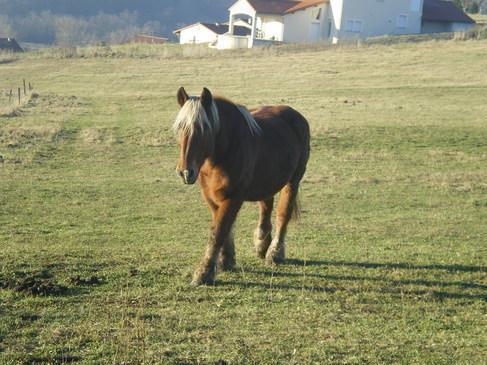 Le cheval de Megève, cheval de trait de Haute-Savoie